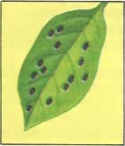 Черные точки на листьях комнатных цветов